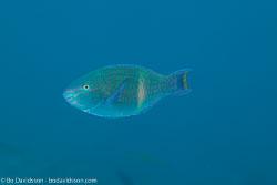BD-120425-Marsa-Alam-6541-Scarus-fuscopurpureus-(Klunzinger.-1871)-[Purple-brown-parrotfish].jpg